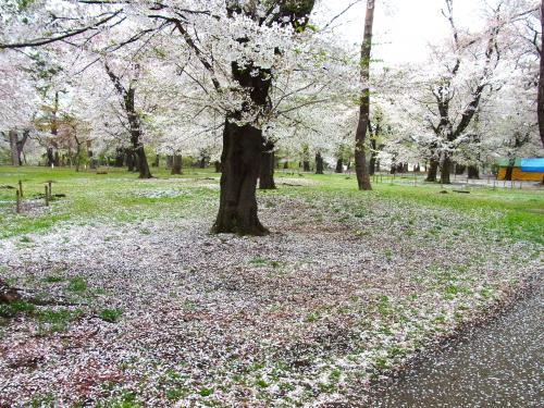 150405-202桜の絨毯(S)