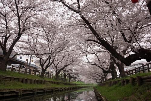 7誉桜 (1200x800)