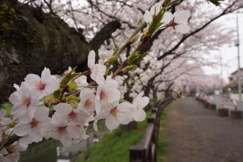 8誉桜 (1200x800)