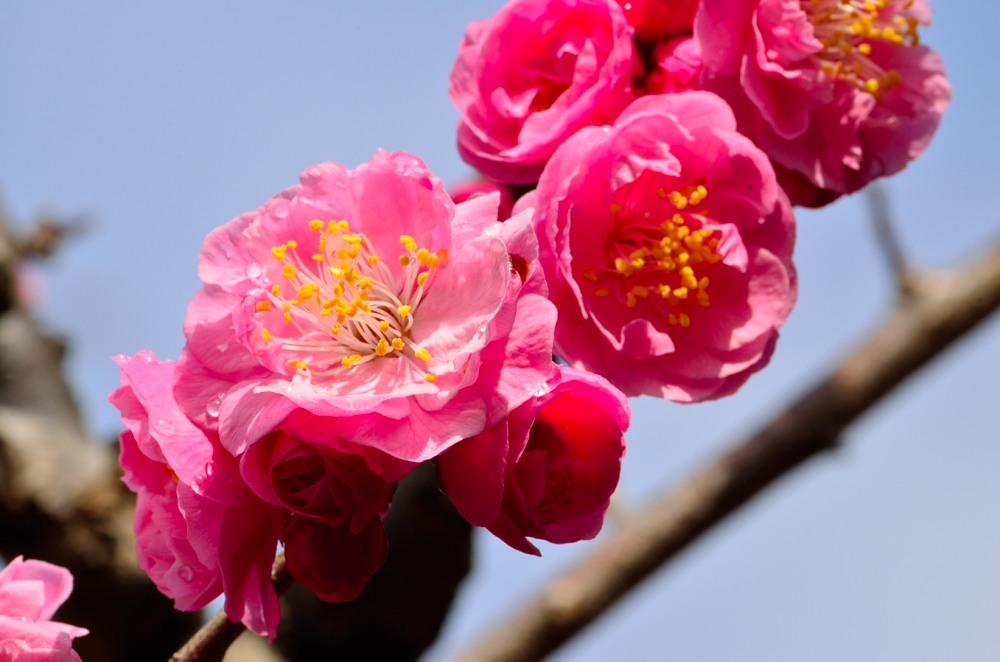 _ピンクの梅と水滴DSC_0008