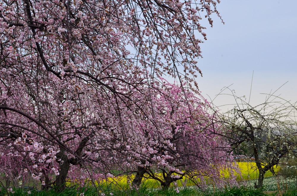 _ピンク花と菜の花DSC_0456