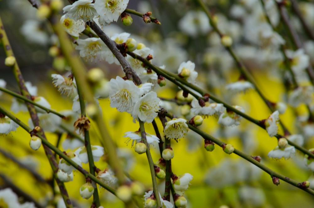 _白花と菜の花DSC_0453