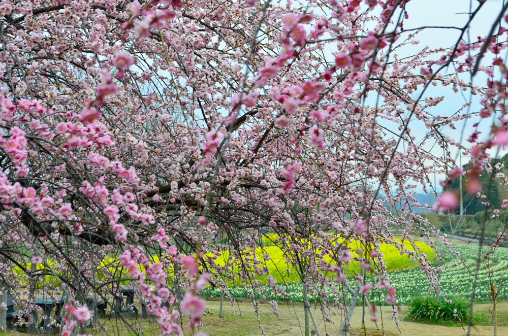 _枝垂れ梅菜の花水仙DSC_0554
