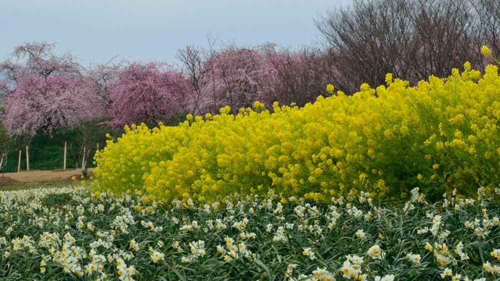 _水仙と菜の花と梅ワイドDSC_0643