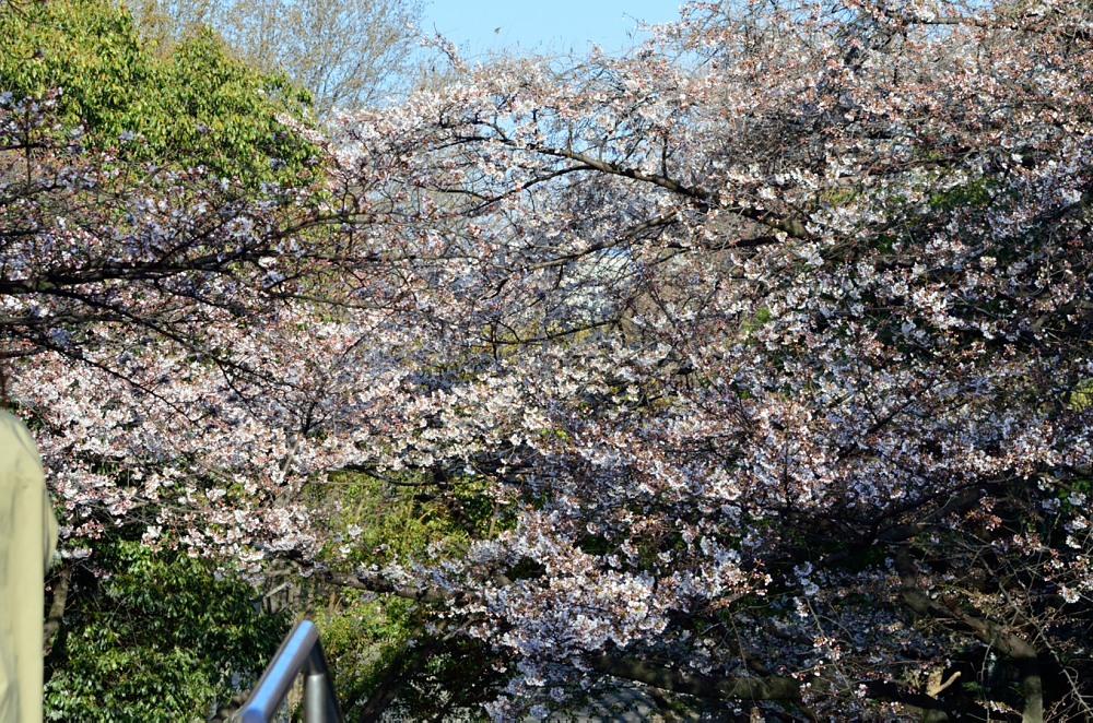_桜DSC_2178
