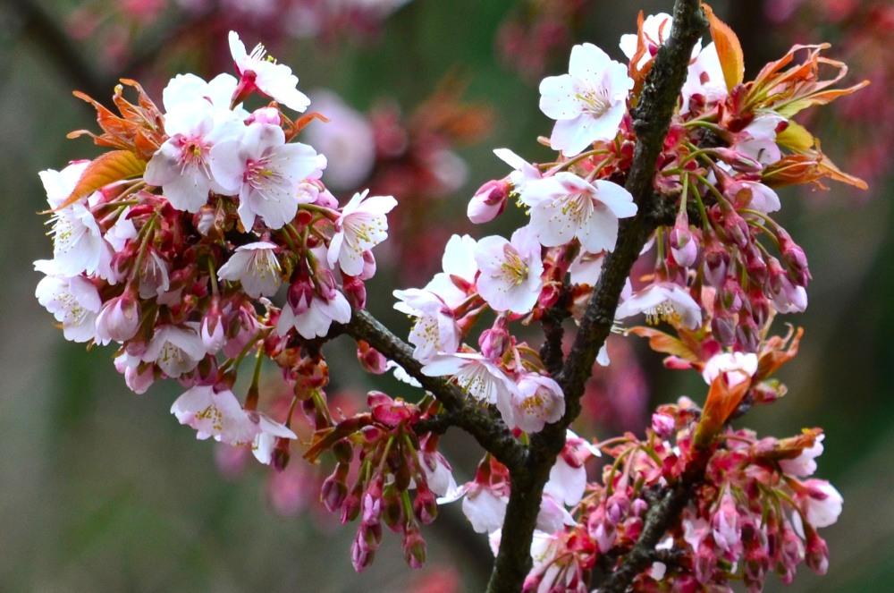 _桜DSC_1434