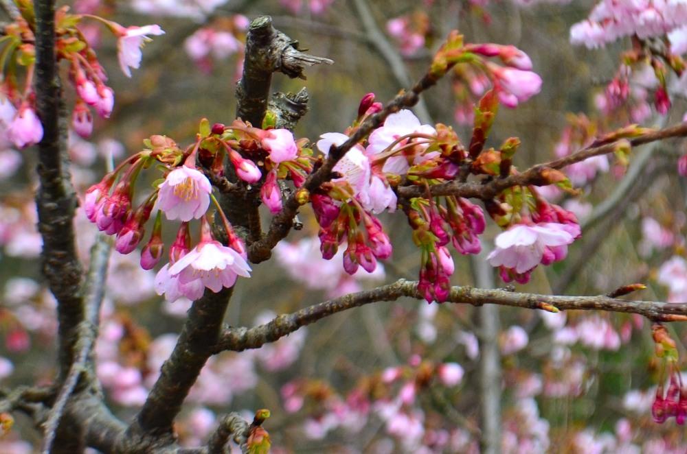 _桜DSC_1427