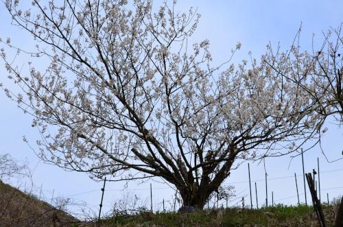 _一本の桜DSC_1487