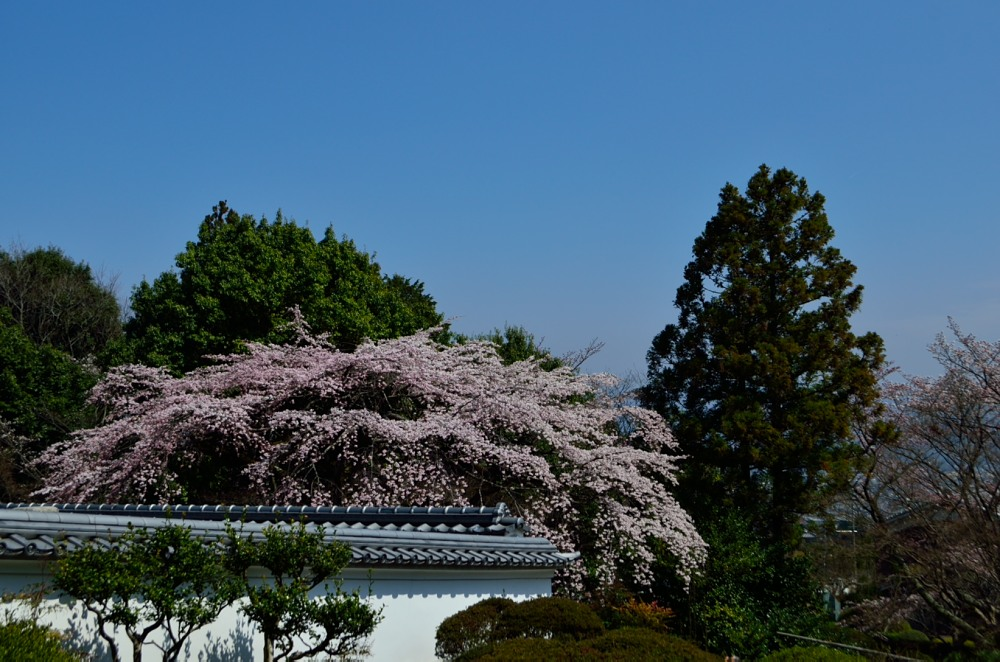 _桜DSC_2721