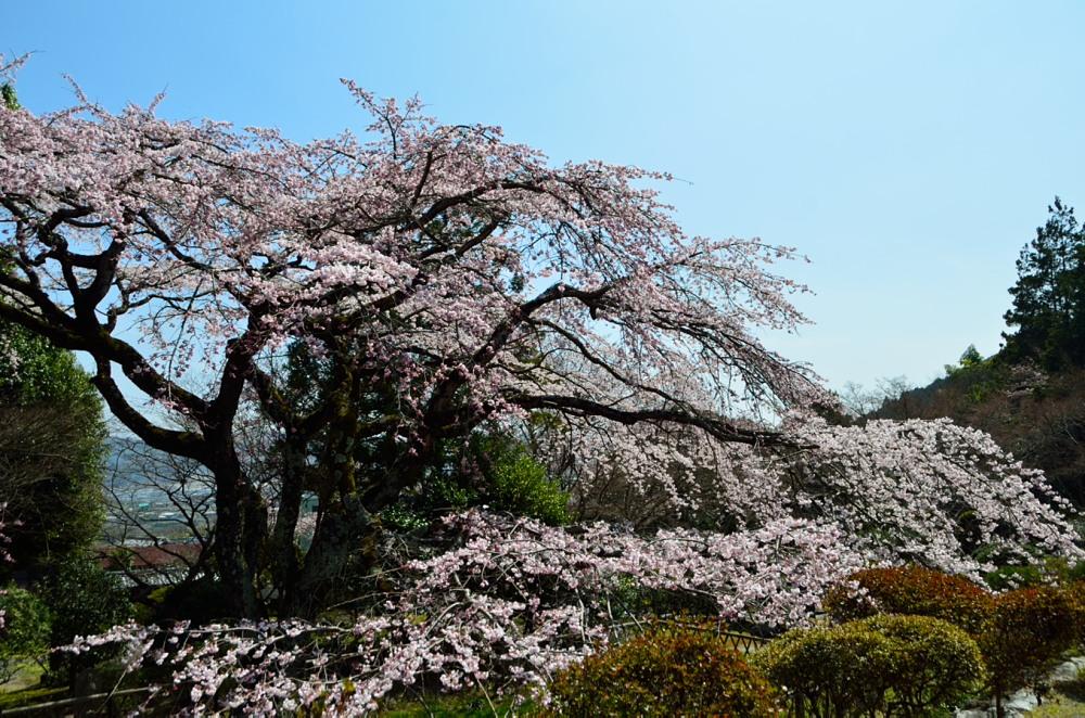 _桜DSC_2676