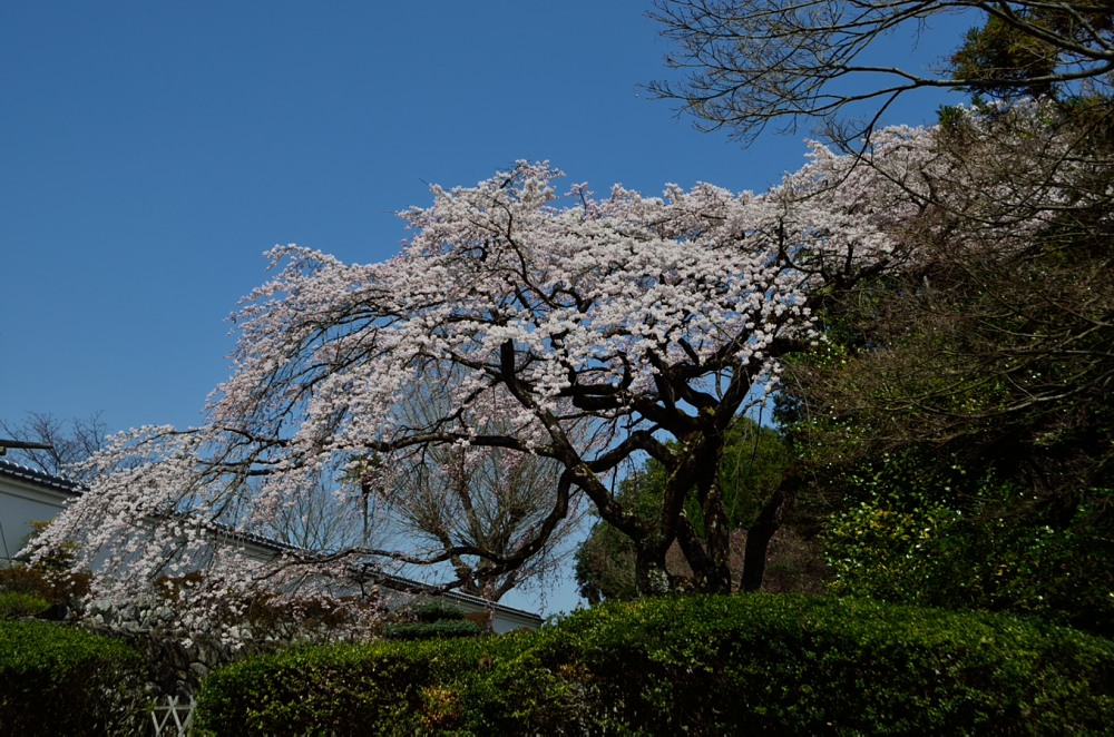 _桜DSC_2660