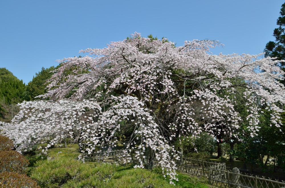 _桜DSC_2672