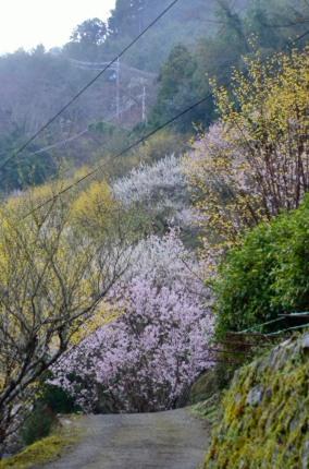 _縦桜とサンシュユ DSC_2456