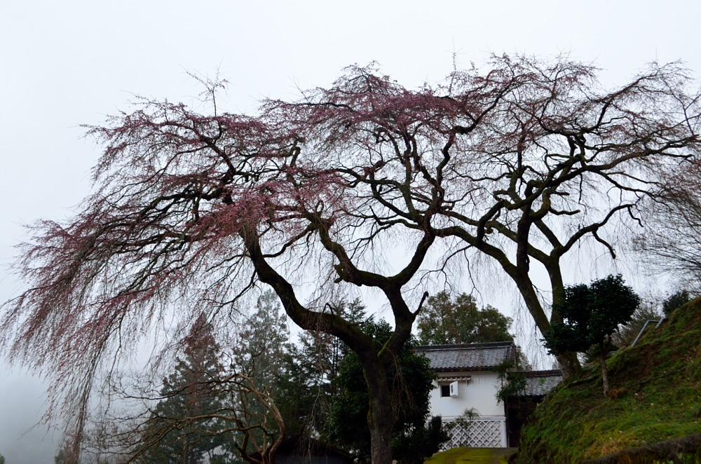 _貝原 シダレ桜と白壁の蔵DSC_2379