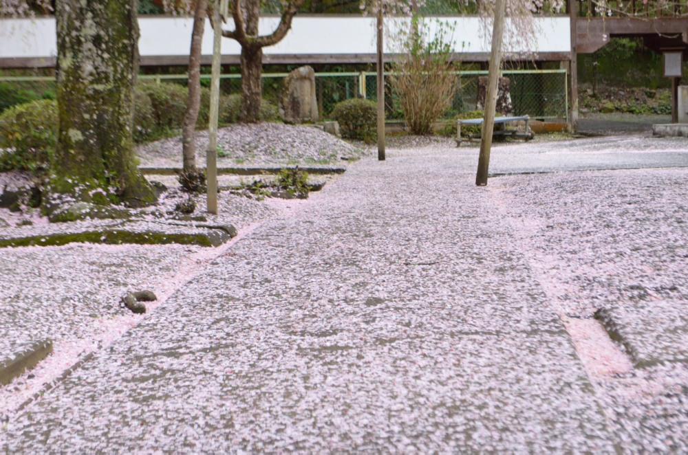 _散り桜じゅうたんDSC_3122