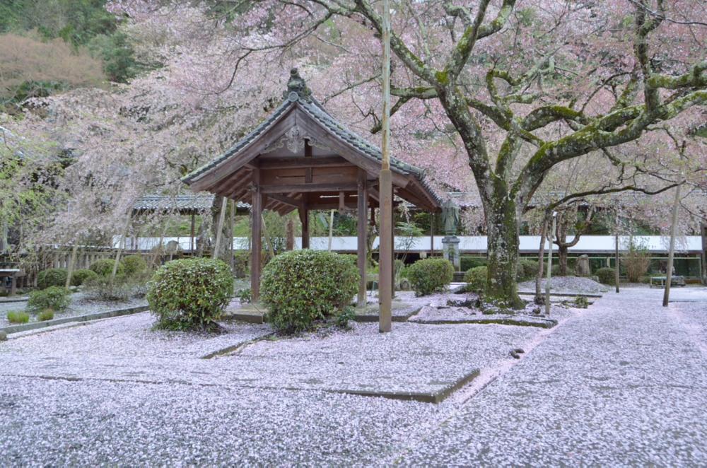 _散り桜じゅうたん左側DSC_3062