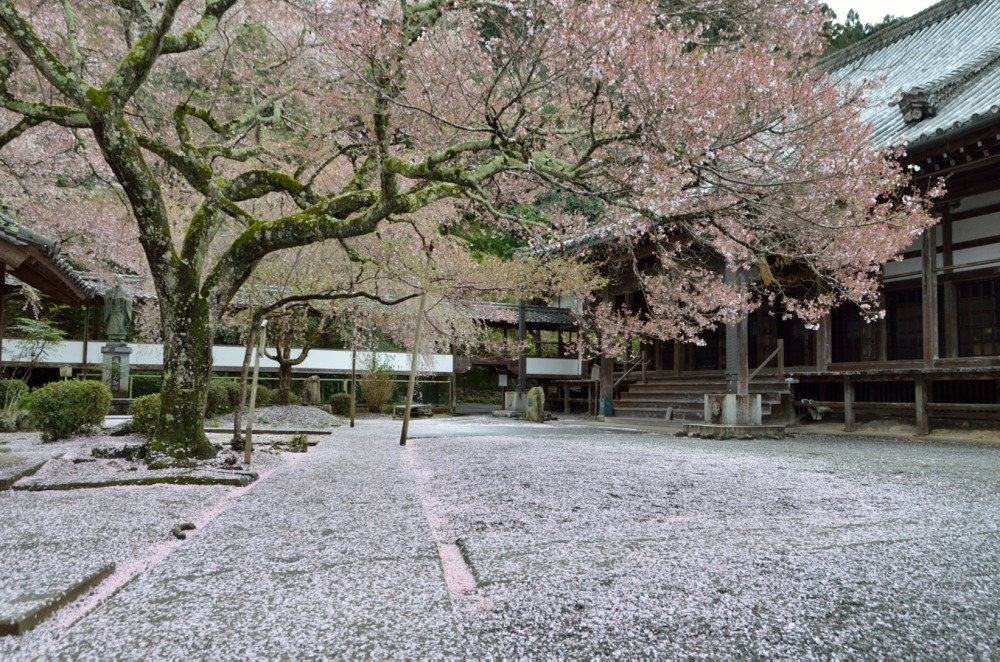 _散り桜山門からDSC_3060