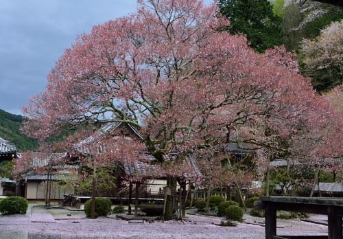 _懐の桜DSC_3133