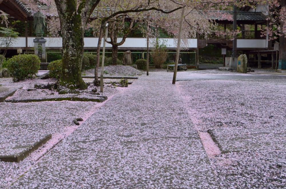 _散り桜DSC_3058