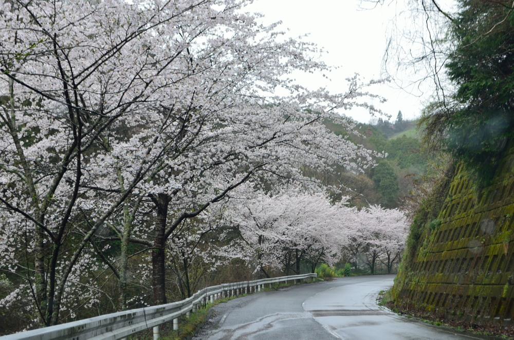 _道中桜並木車窓よりDSC_2806