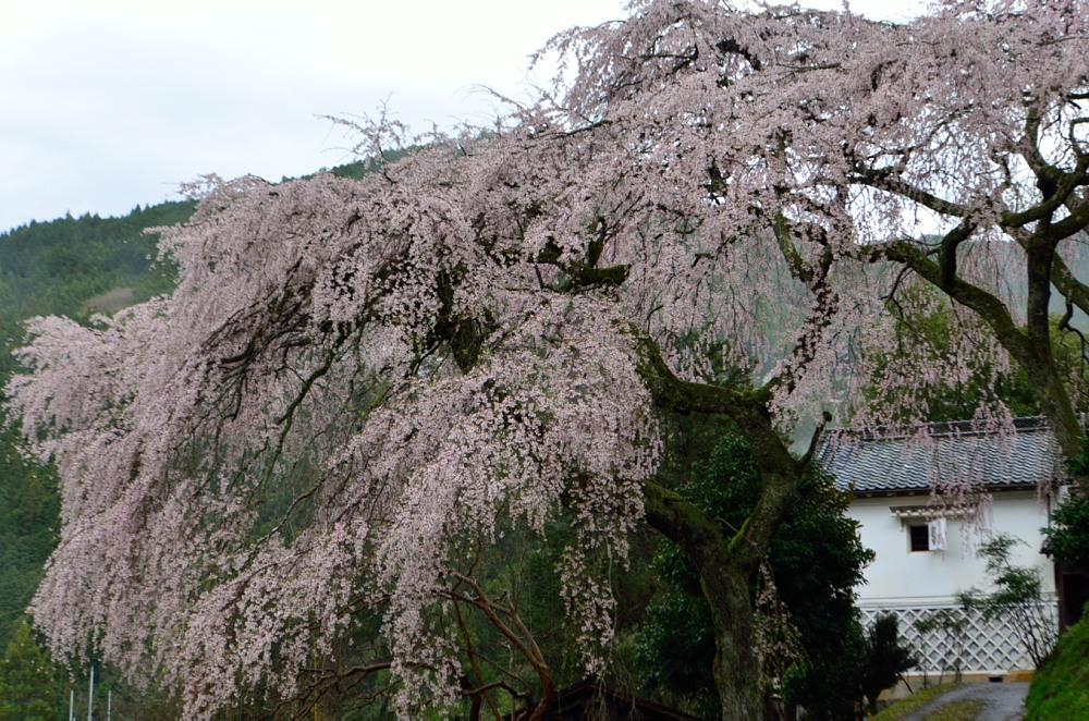 _枝垂れ桜を大きめにDSC_2899