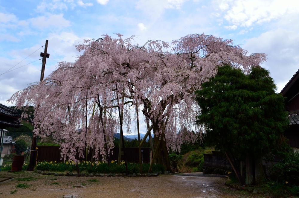 _女姫桜DSC_3030