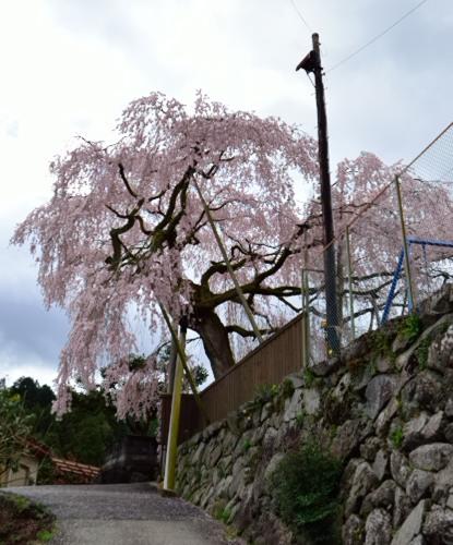 _女姫桜たてDSC_3049