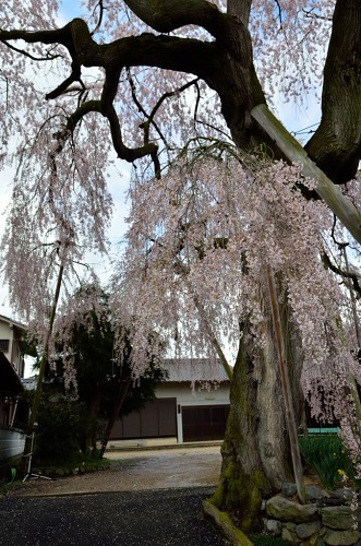 _女姫桜たてDSC_2990