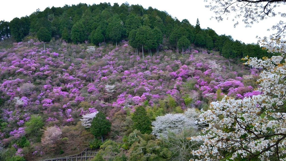 _桜とミツバツツジDSC_3460