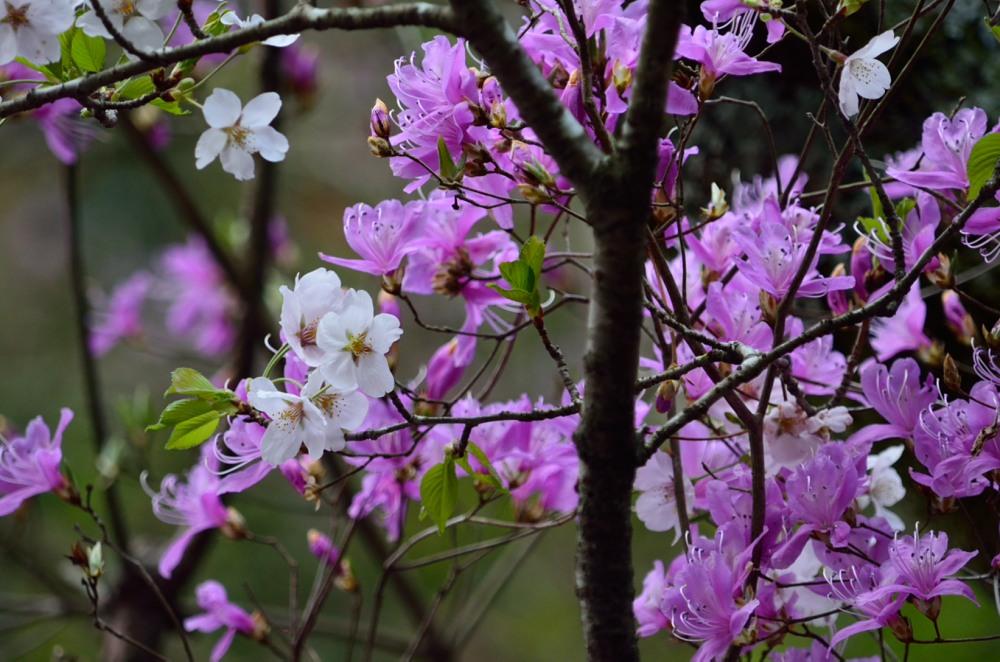 _アップミツバツツジと山桜DSC_3555