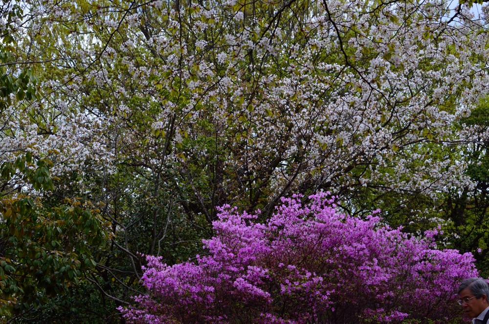 _山桜とDSC_3728
