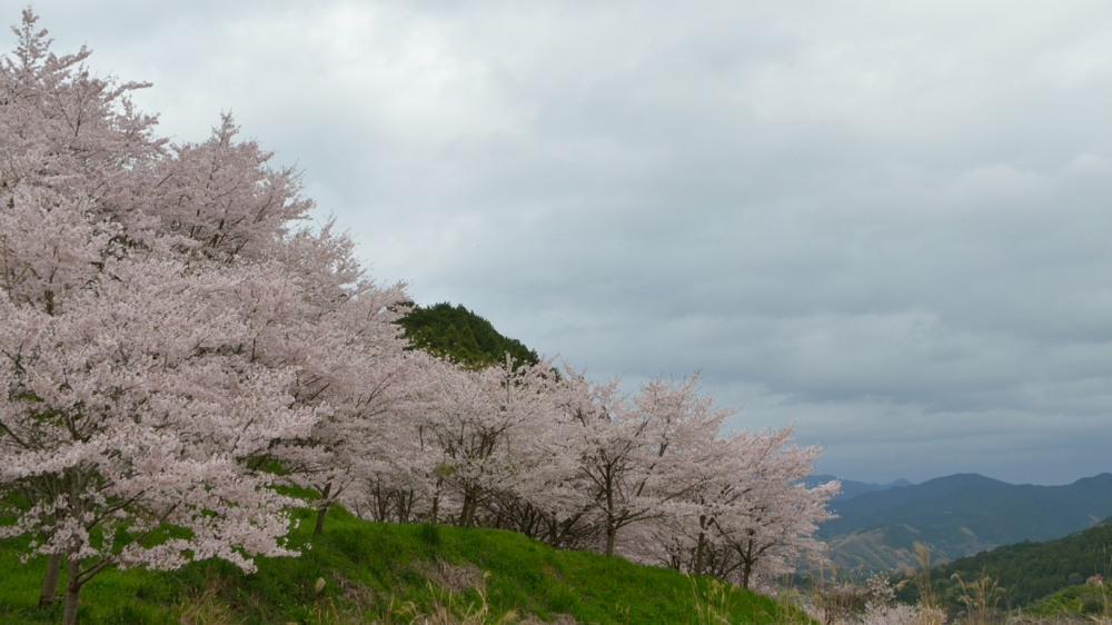 _稜線と桜並木DSC_3138
