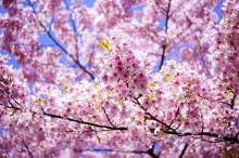 気まぐれつれづれにっき-春爛漫