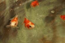 気まぐれつれづれにっき-金魚2