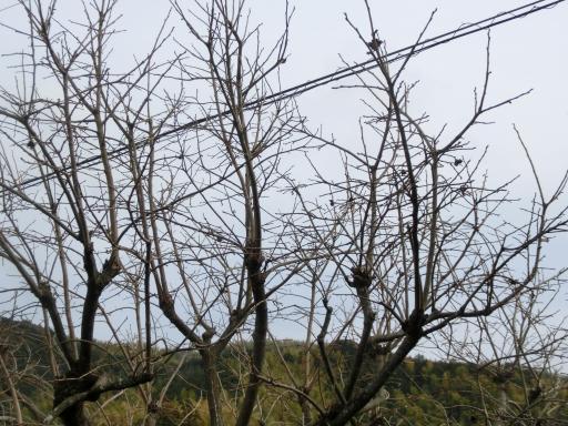 柿の木の剪定1