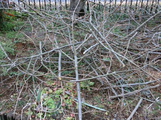 柿の木の剪定3