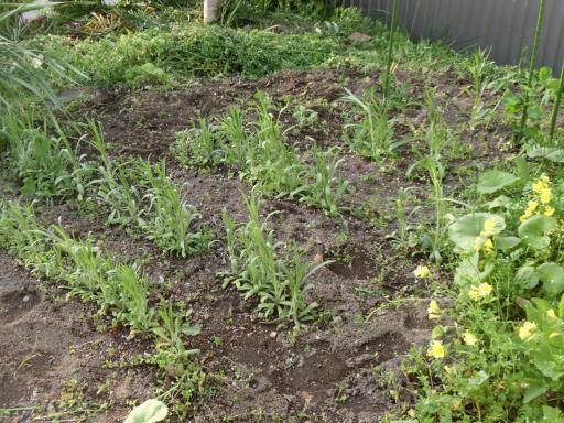 花壇の草取り