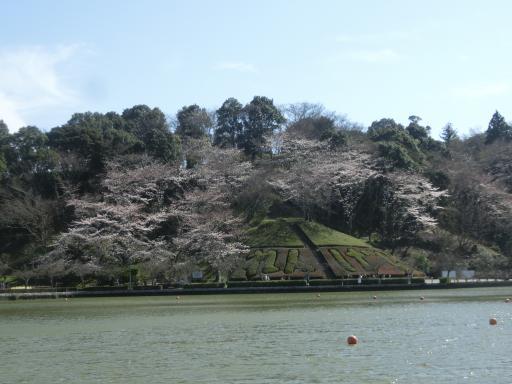 蓮華字池公園の桜1