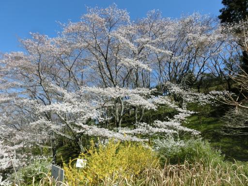 蓮華字池公園の桜2