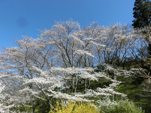 蓮華字池公園の桜3