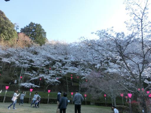 金毘羅さんの桜1