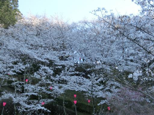 金毘羅さんの桜2