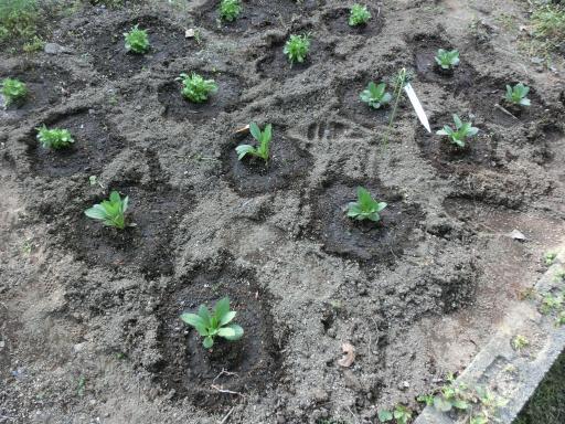 苗を植えた