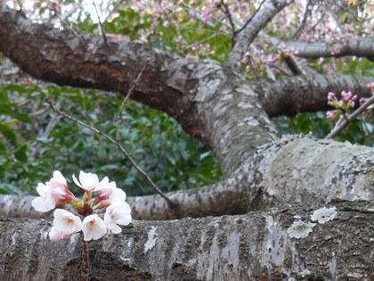 桜一部咲き