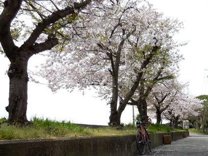 明石川の桜