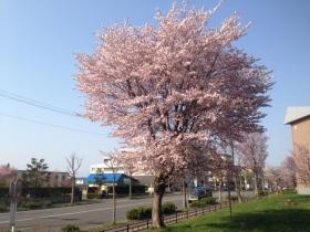 2015年春の桜