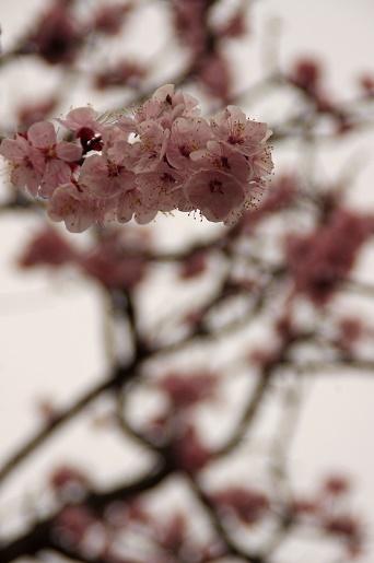 150323あんずの花