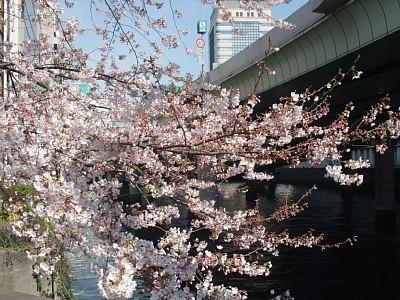 三越前の桜