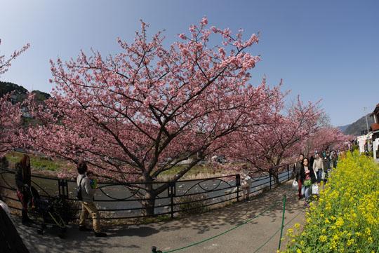 011桜満開