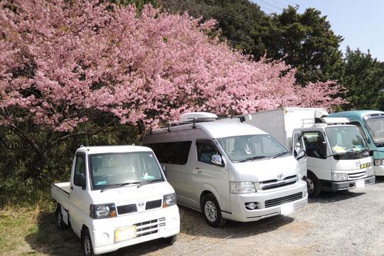 013駐車場も桜